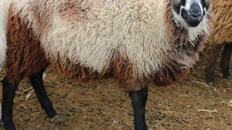 3L 20-667 QR Triplet Badger ewe. Twins by Beretta QR