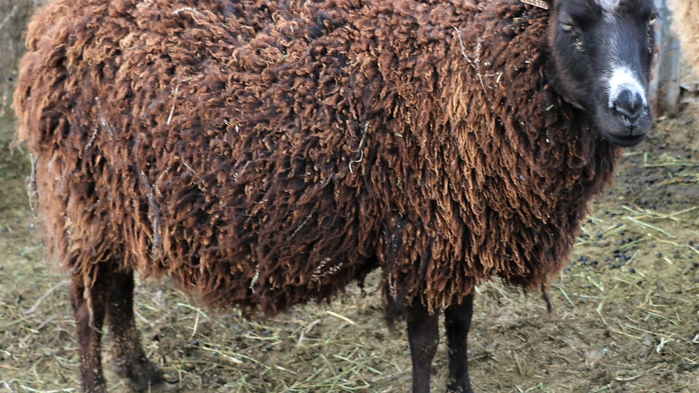 3L 14-410 Meeka.  Quad - Black. 366% lifetime lambing. Bred to Shadow QR