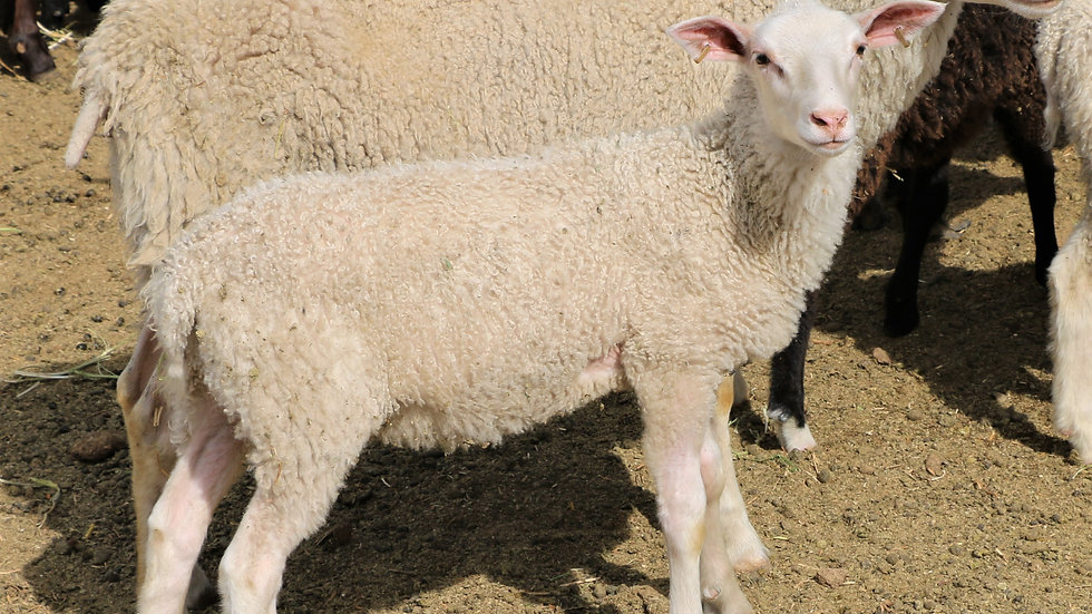 3L 14-450 Snow White. Twin - white. 283% lifetime lambing. Triplets by Lucky One