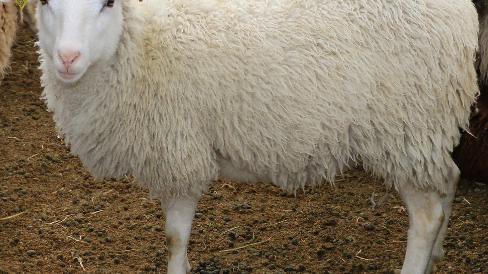 3L 20-630 Quint white ewe. Single by King Arthur QR