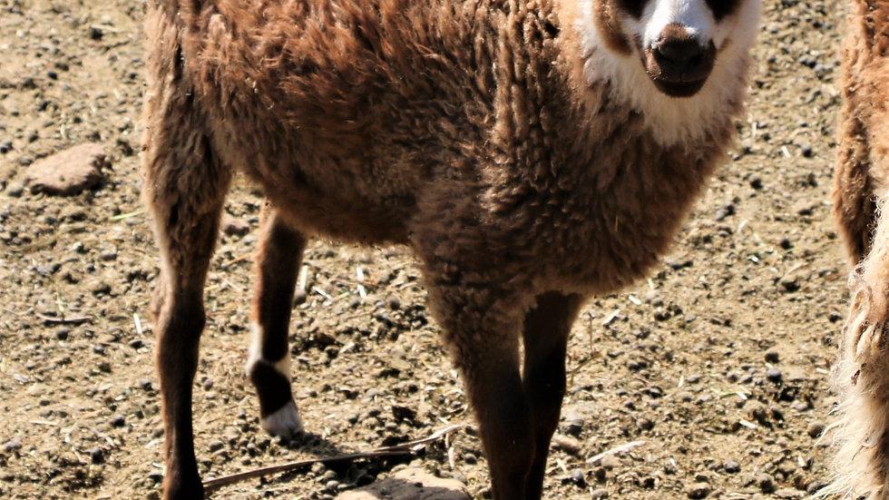 3L 20-742 Twin brown ewe. Dam: 15-507. Sire: Phantom