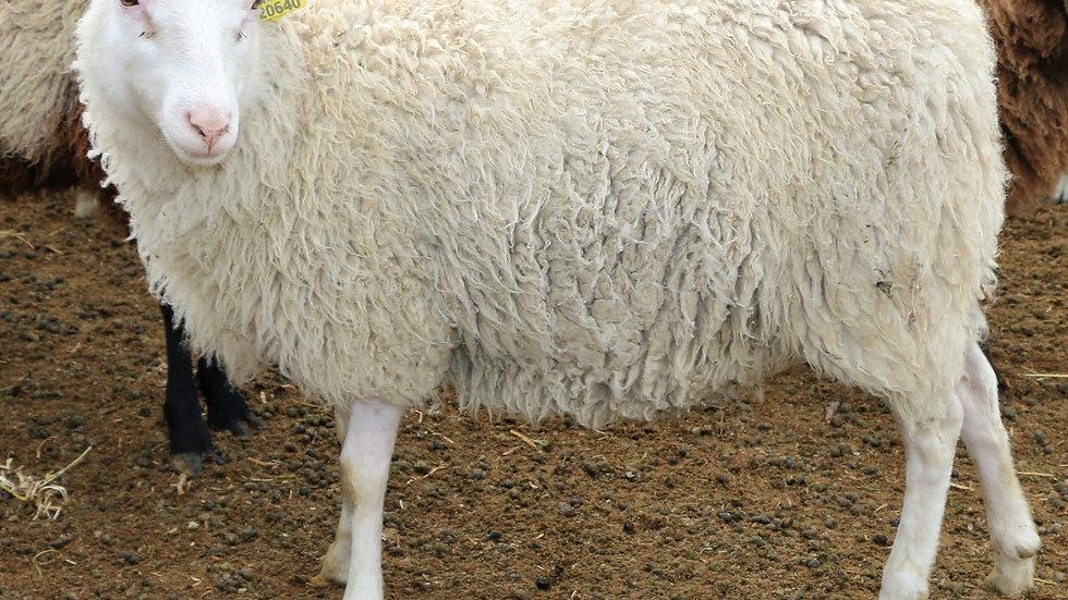 3L 20-640 RR twin white ewe. twins by Beretta QR