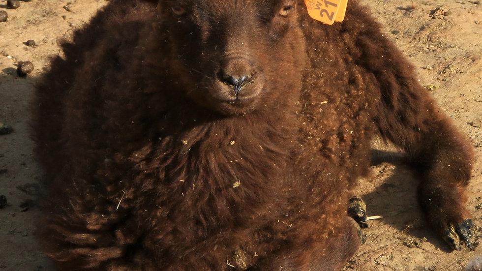 3L 21-974 Twin brown ewe. Dam: 19-390 RR.  Sire: Beretta QR