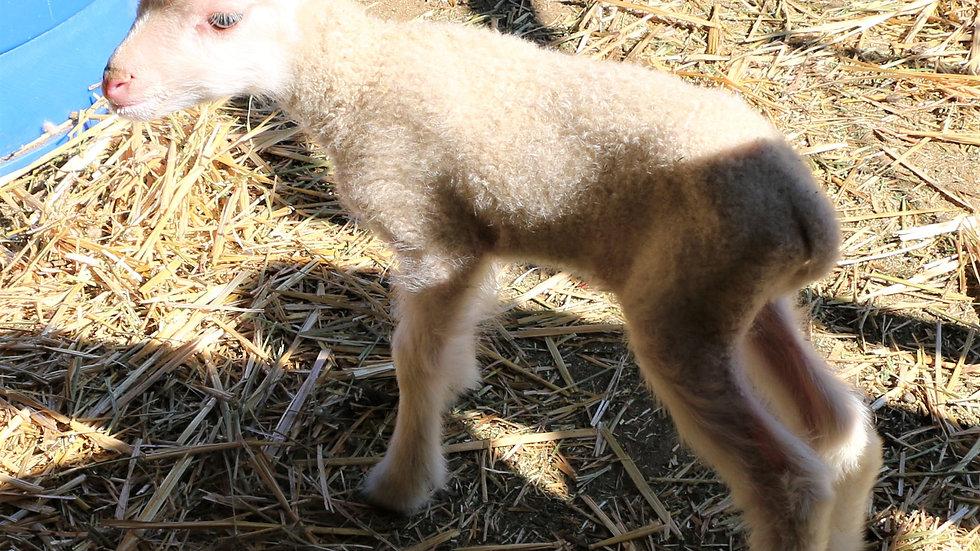 3L 20-702 quad white ewe. Dam: 18-135. Sire: Adam QR.