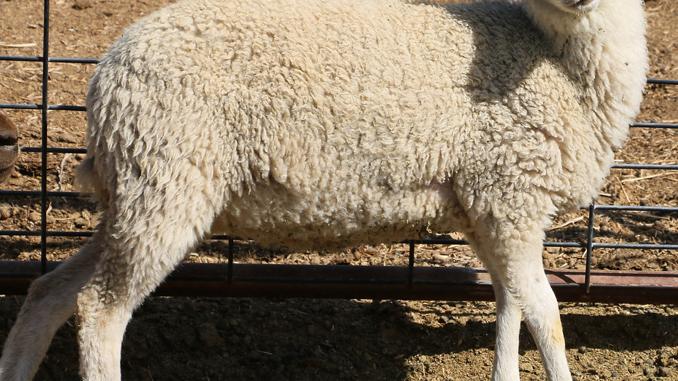3L 20-670 Triplet white ewe. Dam: 16-752. Sire: Thor RR