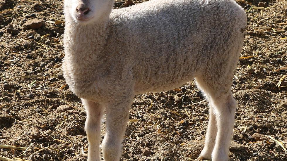 3L 21-903 Twin White ewe.  Dam: 18-226.  Sire: Octavius