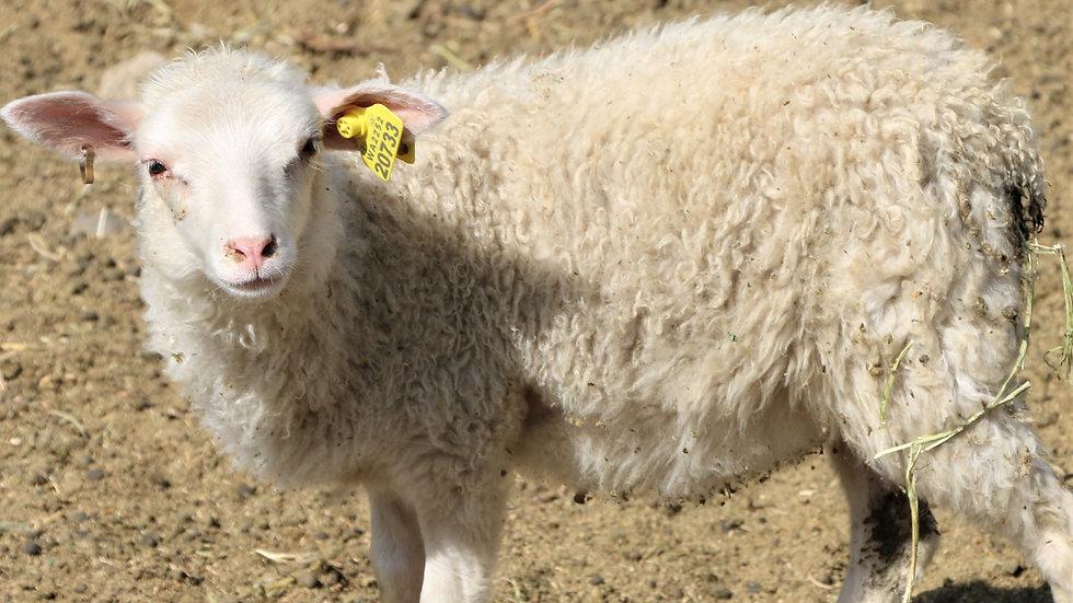 3L 20-733 Twin white ewe. Dam: 19-303. Sire: Octavius.