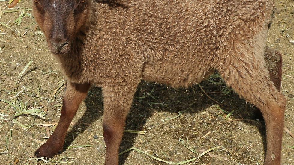 3L 20-725 Quad brown ram. Dam: 18-155. Sire: Duke