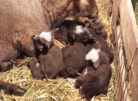 My first set of brown sextuplets!