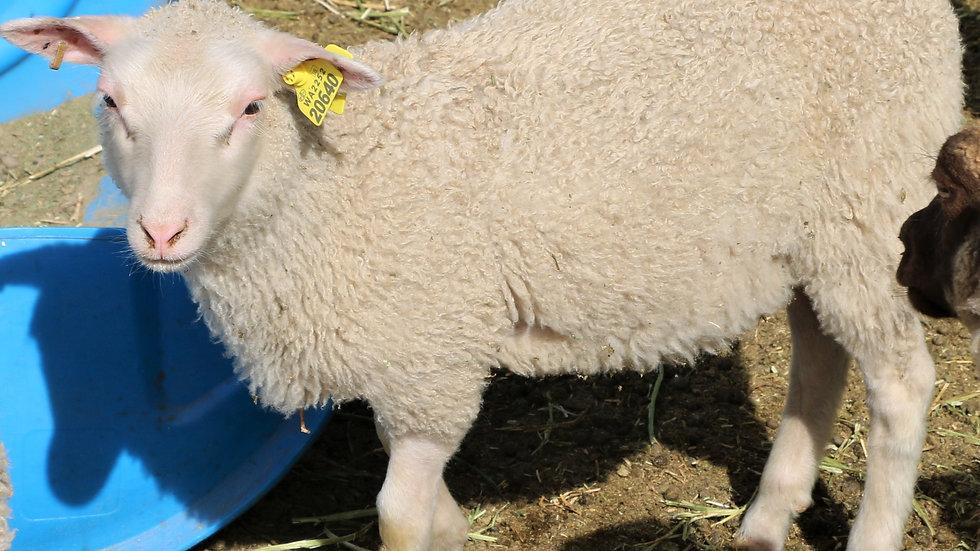 3L 20-640 RR twin white ewe. Dam: 15-627 QR. Sire: King RR. Bred: King Arthur QR