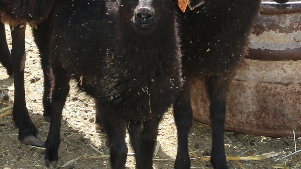 3L 21-930 Quad black ewe. Dam: 18-149. Sire: Phantom