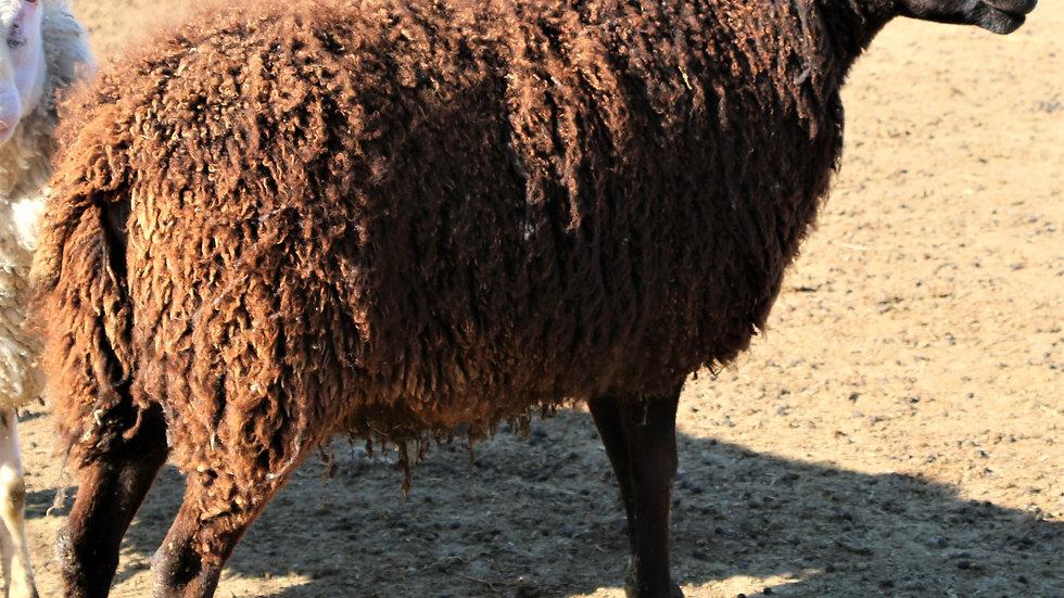 Big Papa QR. Triplet black ram. 3L 18-123
