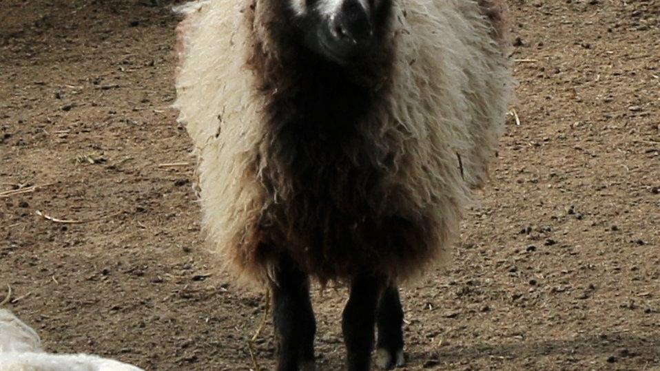 3L 20-572 Quad Badger Ewe. Bred to Wolverine