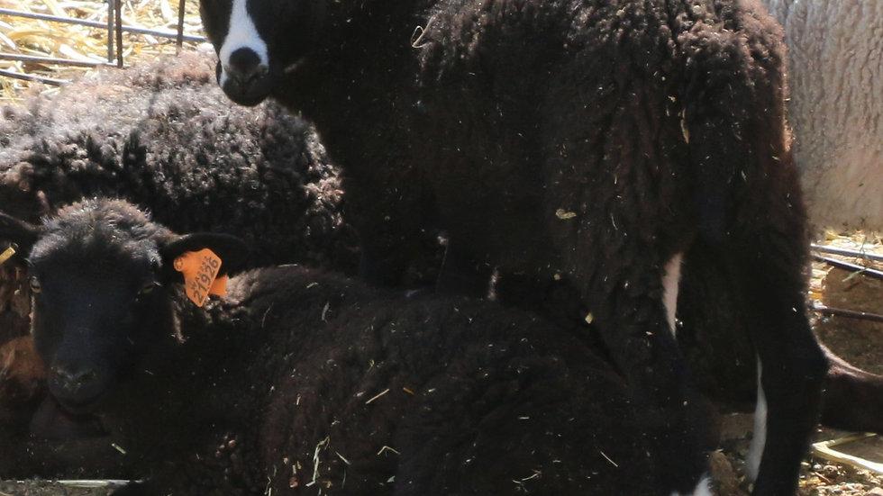 3L 21-917 Quad Black ewe. Dam: 18-124. Sire: Big Papa QR
