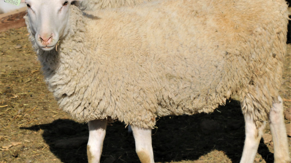3L 19-360 RR. Quad white ewe. 200% lifetime. Bred to Lucky One