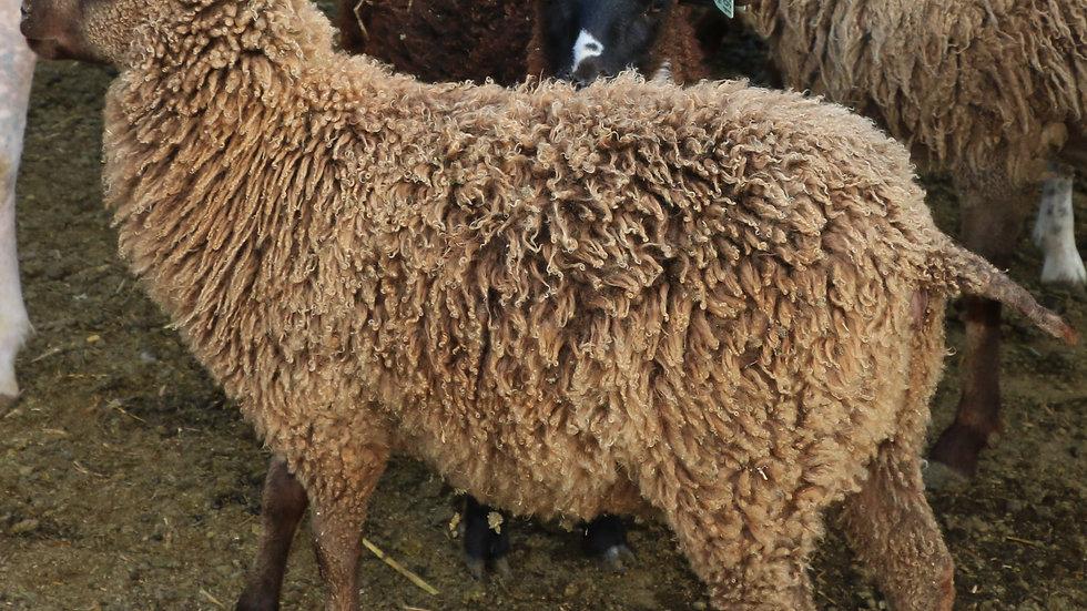 3L 19-377 Triplet Brown Ewe. Dam: 12-174. Sire: Mad Max