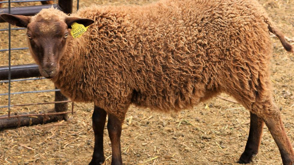 3L 20-660 Triplet brown ewe. Dam: 17-012 QR. Sire: Black Panther RR