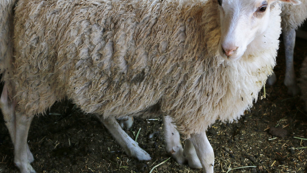 3L 15-554 Ms Daisy.  White Quad. 300% lifetime lambing. Triplets by Lucky One