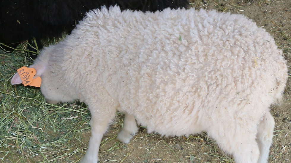 3L 21-914 Quint white ewe.  Dam: 13-253. Sire: Lucky One