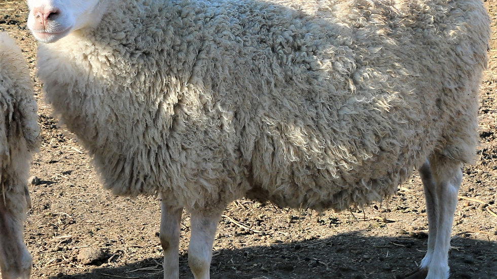 3L 15-627 QR Aproditie. White Triplet. 300% lifetime lambing.  Bred to Lucky One