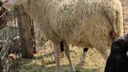 Adam QR.  Twin white Ram.  3L 16-821