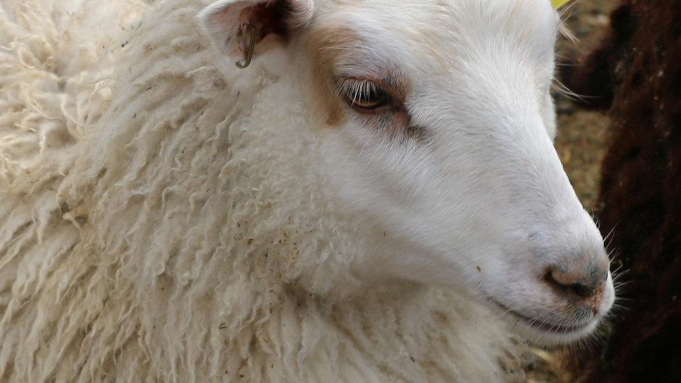 3L 20-675  QR. Quad white ewe.  Bred to Beretta QR
