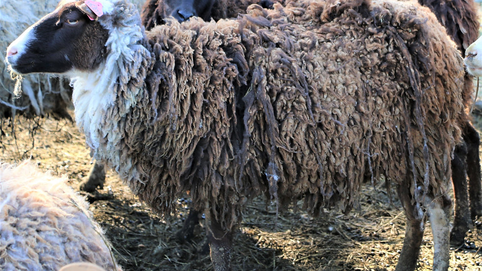 3L 18-075. Triplet Brown Ewe. 200% lifetime. Bred to Phantom