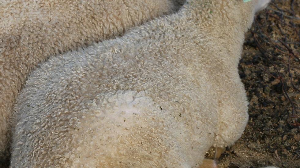 3L 19-387 Twin white ewe. Dam: 17-920 QR. Sire: King RR