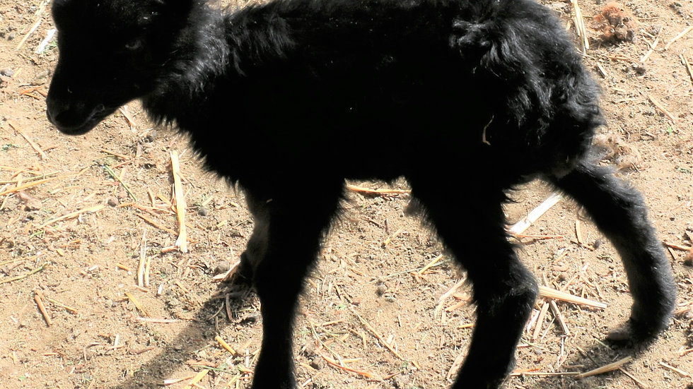 3L 20-577 Triplet Black ewe. Dam: 18-122 QR. Sire: Magnum
