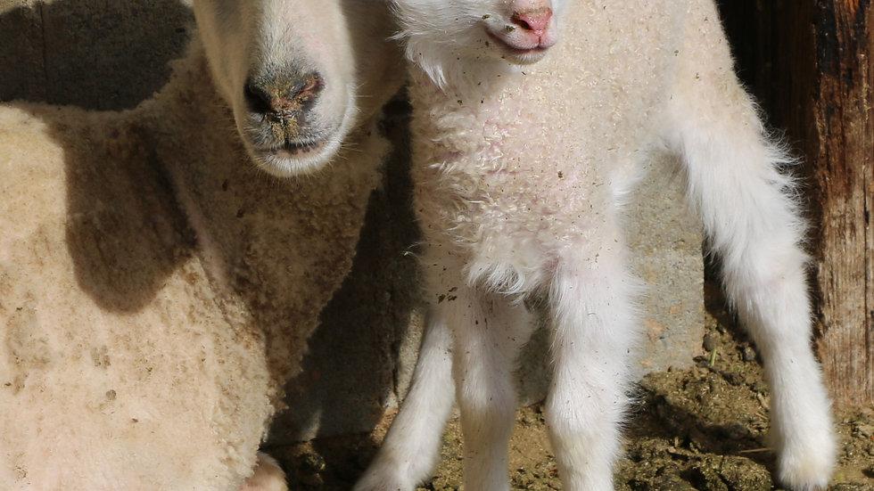 3L 21-804 Twin white finn ewe. Dam: 19-302.  Sire: Lucky One