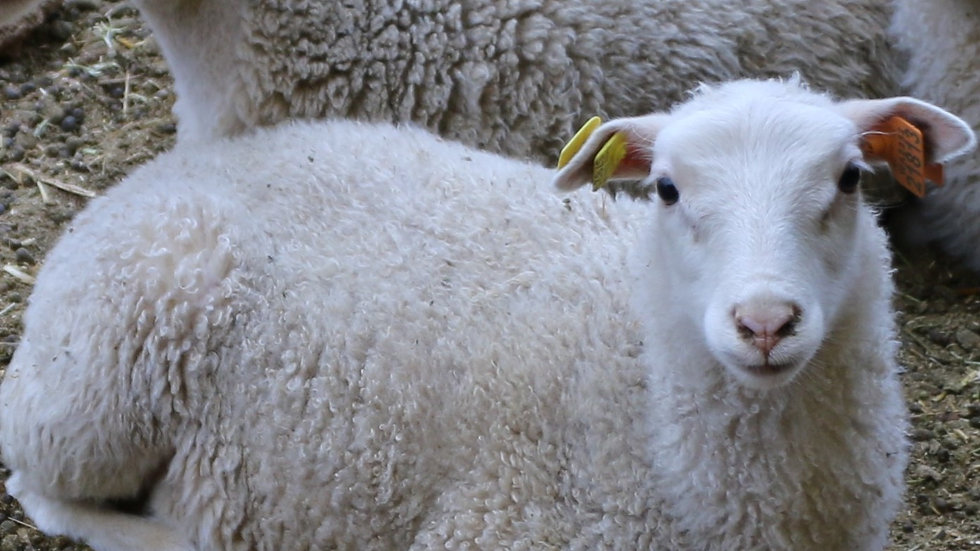 3L 21-813 Triplet White Ewe. Dam: 19-349 QR. Sire: King RR