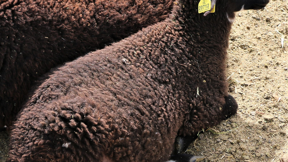 3L 20-712 Quad Black ram. Dam: 18-207. Sire: Big Papa QR