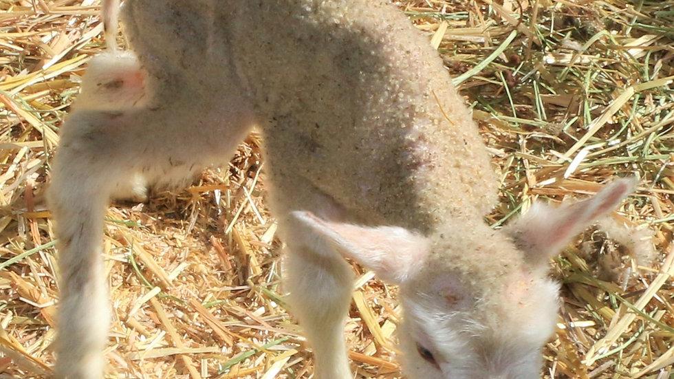 3L 21-882 Twin white ewe. Dam: 18-088. Sire: Octavius