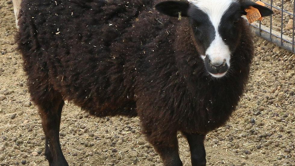 3L 21-968 Twin Black ewe. Dam: 17-001 QR. Sire: King RR