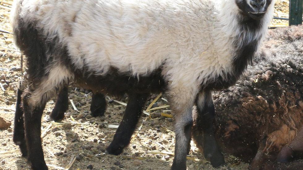 3L 21-854 RR Twin badger ewe. Dam: 19-490 RR. Sire: Azari RR