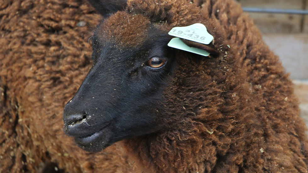 3L 19-436 Twin black ewe. Dam: 17-958. Sire: Diablo