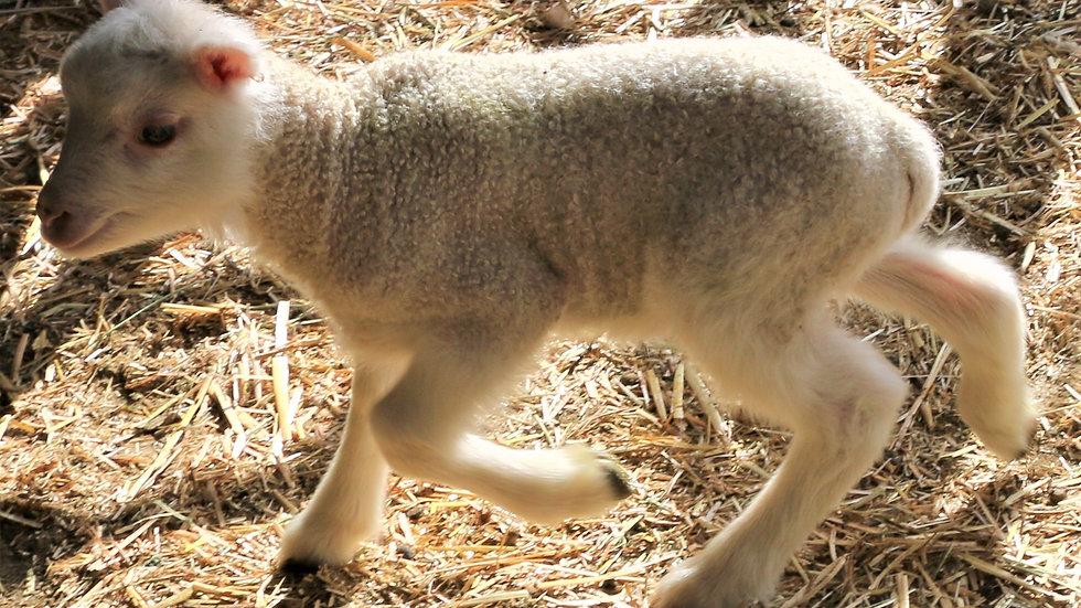 3L 21-992 Triplet White Ram.  Dam: 13-138. Sire: Thor RR