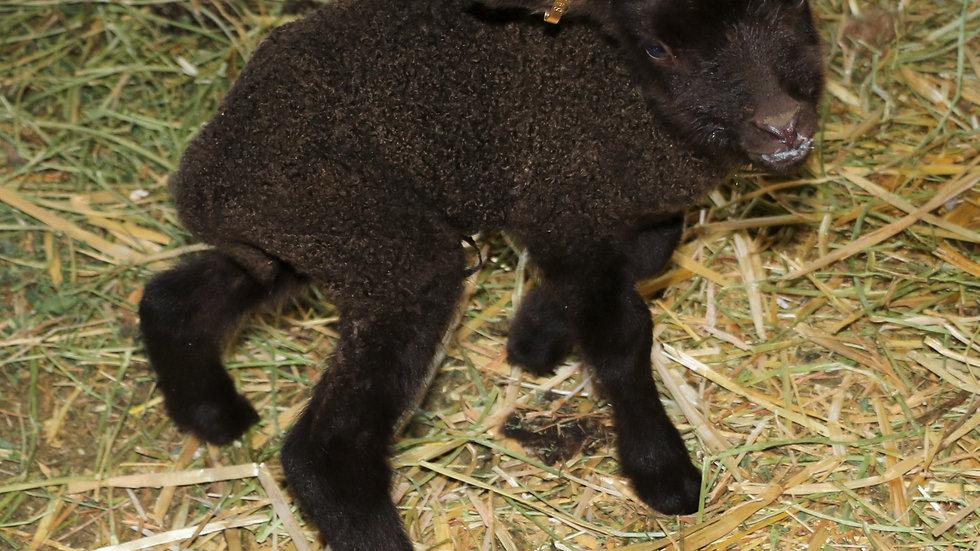 3L 21-847 Quad Brown ewe. Dam: 18-155. Sire: Phantom