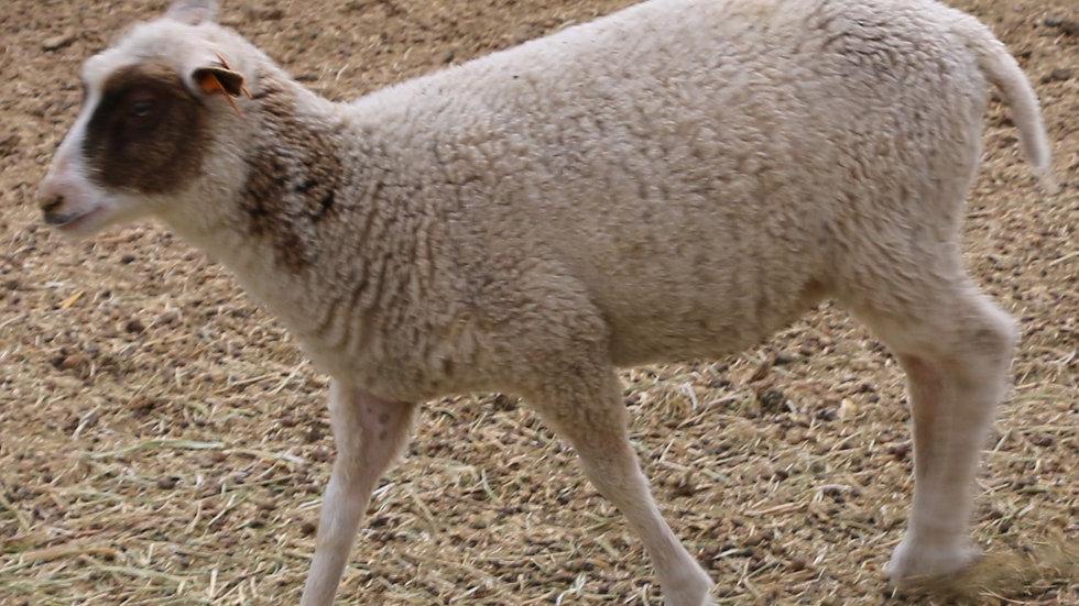 3L 21-807 twin Brown Pied ewe.