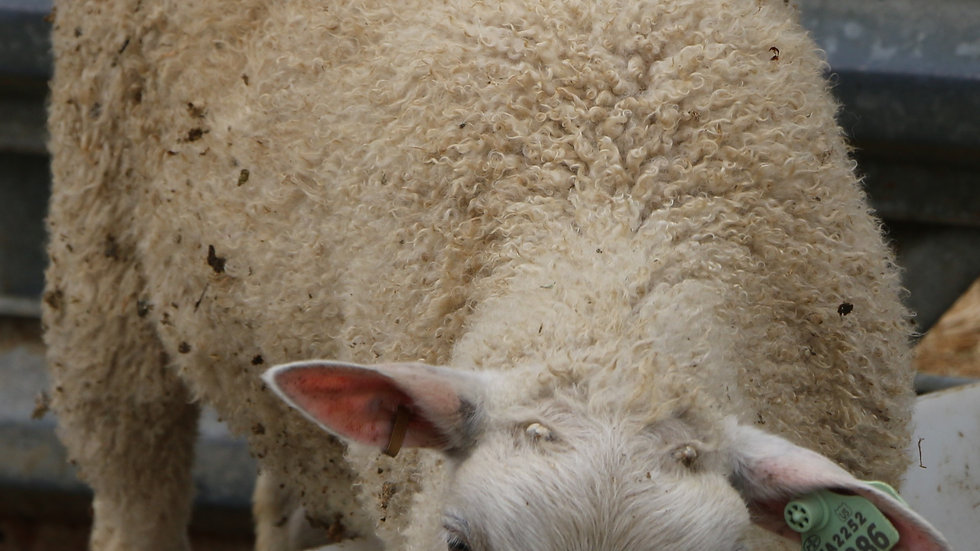 3L 19-386 Twin white ewe. Dam: 17-920 QR. Sire: King RR