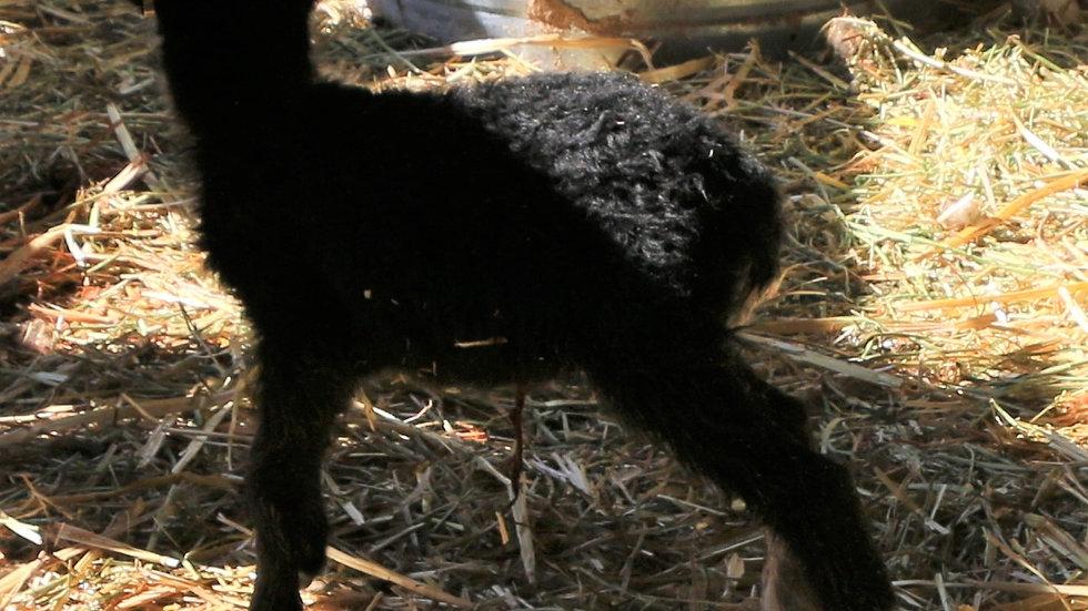 3L 21-938 Black Single ewe. Dam: 20-559 QR. Sire: Night Rider QR