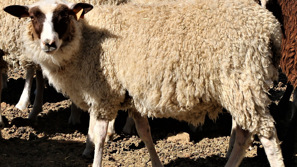 3L 21-806 twin Brown Pied ewe.