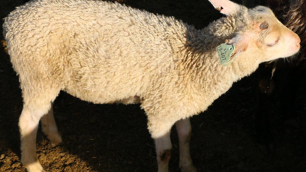 3L 19-407 Triplet white ewe. Dam: 18-124. Sire: Thor RR