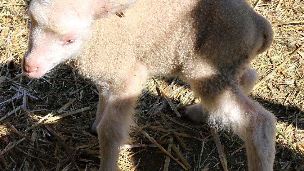 3L 20-706 Quad white ewe. Bred to King Arthur QR