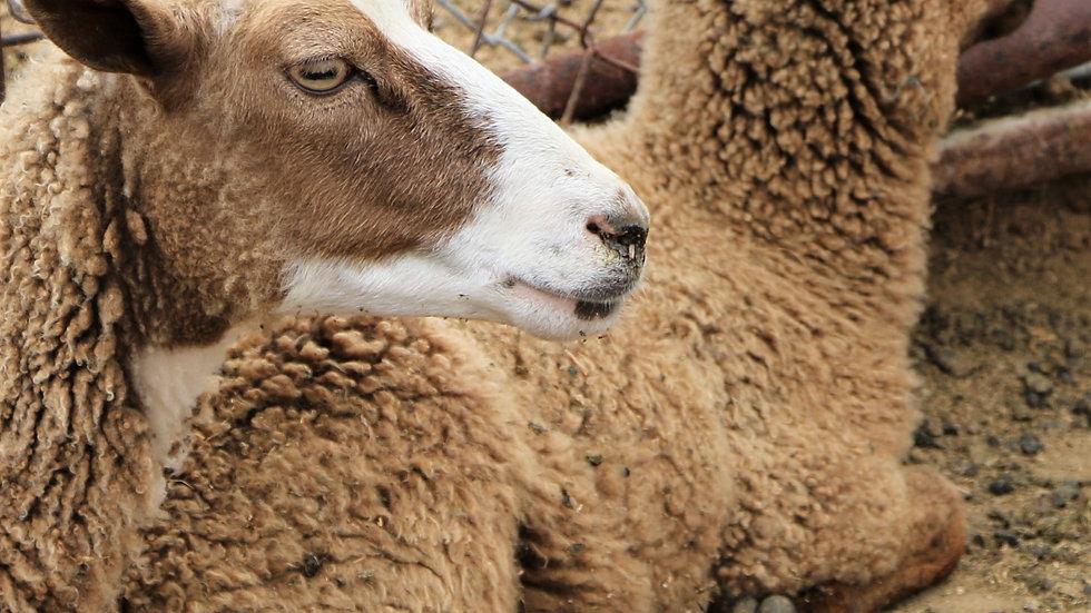 3L 19-496 twin brown ewe. Dam: 16-773. Sire: Duke