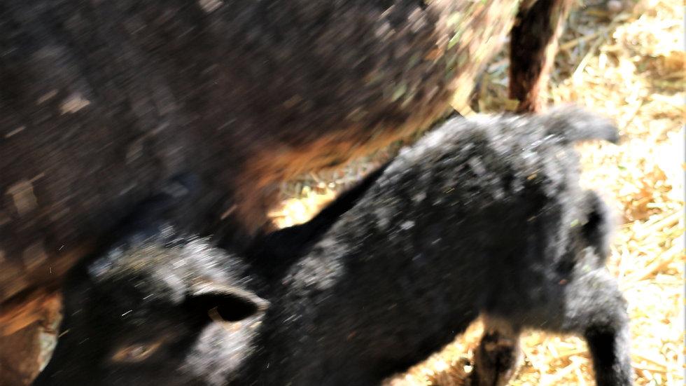 3L 21-893 Quad black ewe. Dam: 14-410.  Sire: Shadow QR