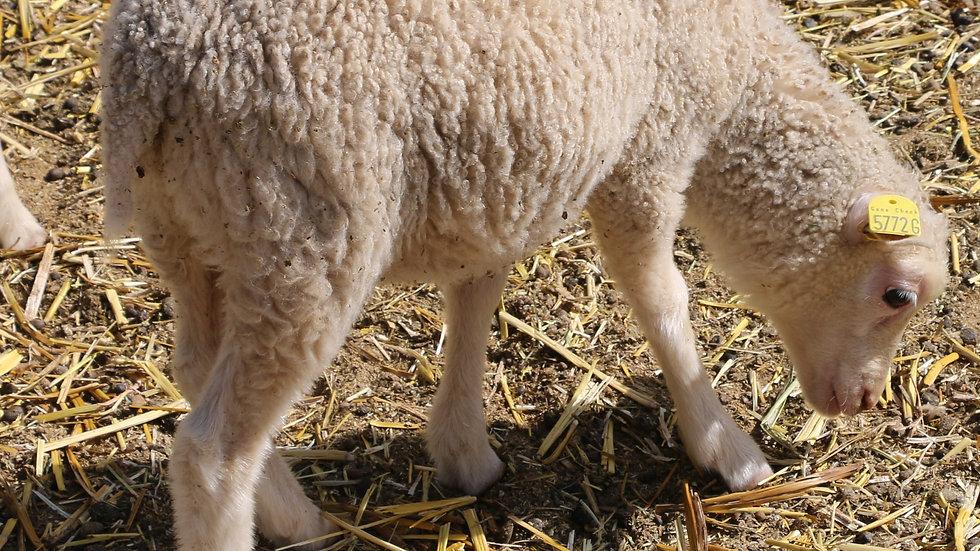 3L 21-829 Triplet White Ewe. Dam: 18-079 RR. Sire: King Arthur QR