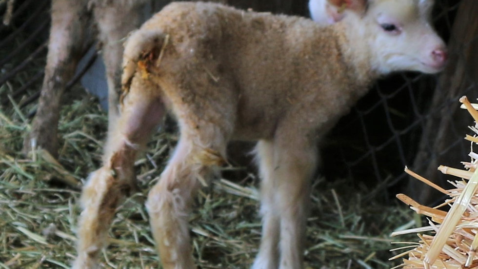 3L 21-028 Single white ewe. Dam: 20-588. Sire: Beretta QR