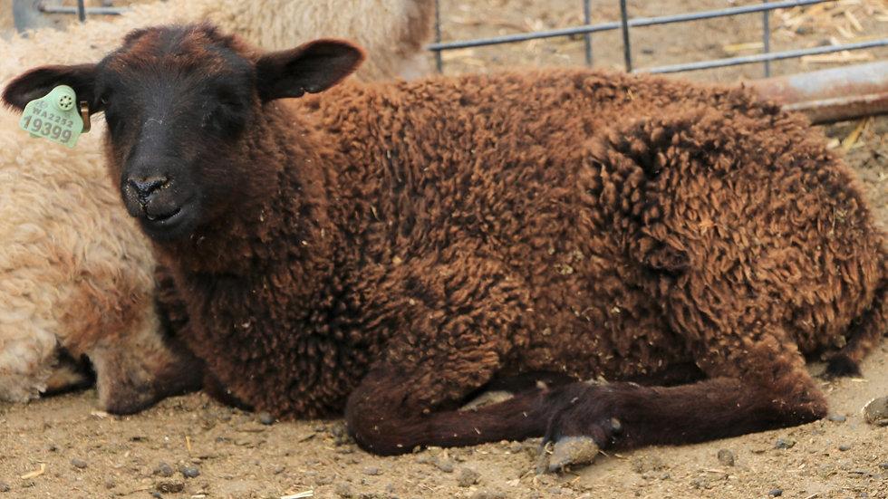 3L 19-399 Triplet Black Ewe. dam: 17-001 QR. Sire: King RR