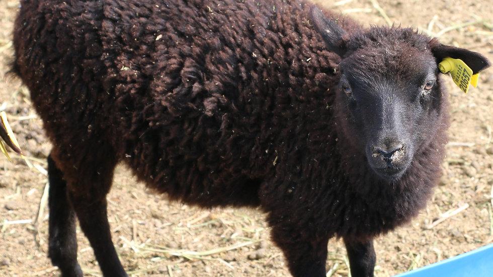 3L 20-657 RR Twin black ewe. Dam: 18-100 QR. Sire: Black Panther RR